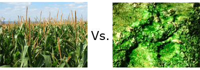 corn_vs_algae